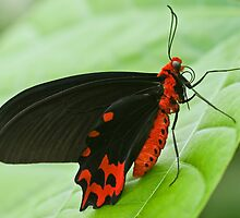Red-bodied Swallowtail  (Pachliopta polydorous) by Steve  Liptrot