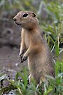 Prairie Dog, Billings, Montana. by Ann  Van Breemen