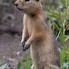 Prairie Dog, Billings, Montana. by Ann  Van Breemen