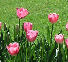 Pink Tulips at the Spring Festival by medley