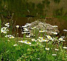 Daisey Reflections by Bob Spath