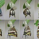 Charaxes jasius,emerging from the pupa by jimmy hoffman