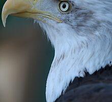 Eagle by Laddie Halupa