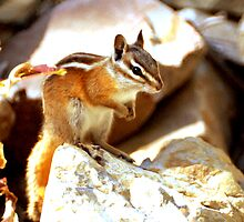 Chipmunk Near Sundance by Ryan Houston