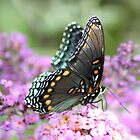 Red Spotted Purple by rasnidreamer