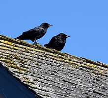Two Crows on a Hot Lichened Roof by Wolf Read