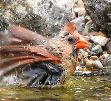 Bathing Baby Cardinal by swaby