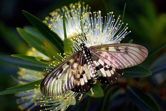 Glasswings by Jenny Dean