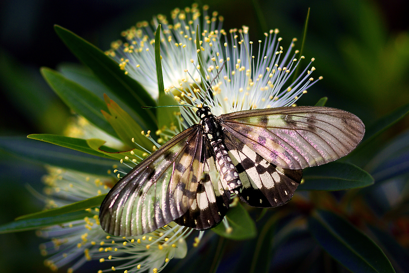 Glasswings by Jenny Dean