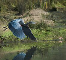 Great Blue Heron In The Salt Marsh by David Friederich