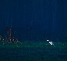 An egret hunts at dawn by Keith McGuinness