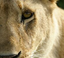 Half a lioness by Yves Roumazeilles
