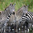 Zebras by Yves Roumazeilles