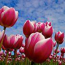Tulips by markosixty6