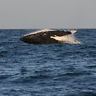 Whale breaching Whitsundays by Tim Miller