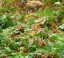 Roe deers in the fern by Yves Roumazeilles