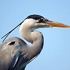 Grey Heron(Ardea cinerea) by kilmann