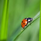 Ladybug by Melinda Gaal