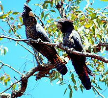 Red Tailed Black Cockatoos by Mike Edwards