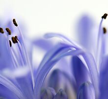Agapanthus Ballet by Renee Hubbard Fine Art Photography