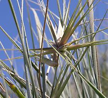 Spinifex & blue sky by KarenEaton