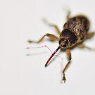boll weevil Close-up by Dennis Stewart