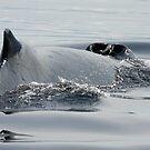 Surfacing Humpback by Gina Ruttle  (Whalegeek)