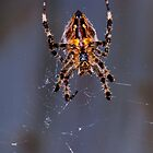 Garden spider and web by evilcat