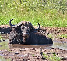 Wallowing Buffalo by Jared Bloom