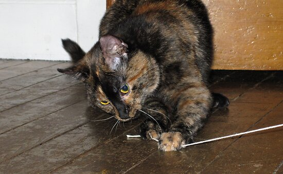 Tortoiseshell cat playing with string by Linda More