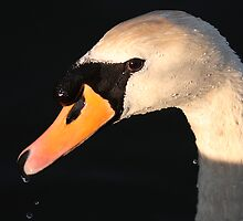 Drinking swan by Keith Jones