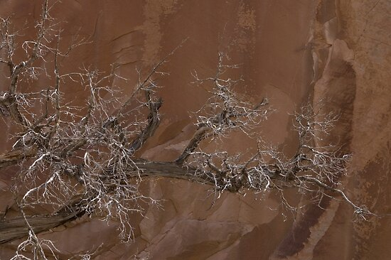 Canyon Tree - Escalante Grand Staircase National Monument by David Galson
