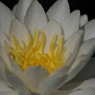 Water Lilly by David Galson