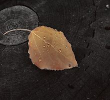 Aspen Leaf with Dew Drops in Sepia Tone by Bob Spath