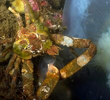 Decorater Crab Feeding on a Jelly Fish by Greg Amptman