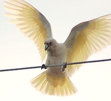 Muir's Corella by Eve Parry