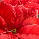 Poinsettia  by Sandra O'Connor