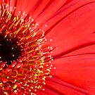 Red daisy by Sandra O'Connor