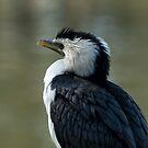 Little Pied Cormorant by SusanAdey