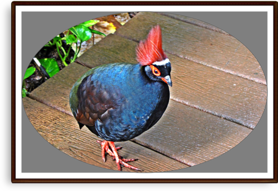 """ The Rouroul crested Partridge"" by mrcoradour"