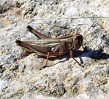 Just another locust. by John  Smith