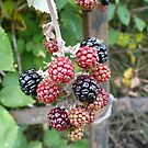 Autumn Blackberries by Jo Newman