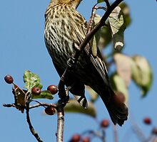 Female Red-Winged Blackbird by Wolf Read