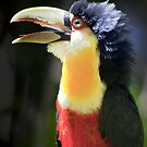 Red Breasted Toucan by Bob Wickham