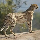 Cheetah Pose by Kristiane Anderson