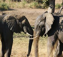 Elephant scuffle by Kristiane Anderson