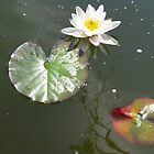 White Water Lily by aila