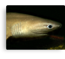 Six Gill Shark Canvas Print