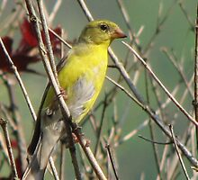 Tanager- female yellow  by JeffeeArt4u