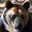 Brown Bear by Jonathan France